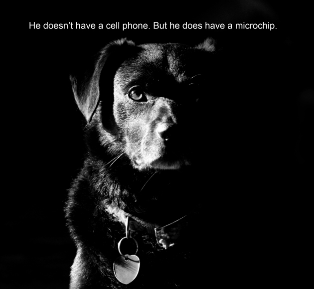 I photographed my dog in natural light and added a simple line of text for a microchip ad.